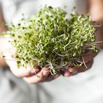 sulforaphane from broccoli sprouts