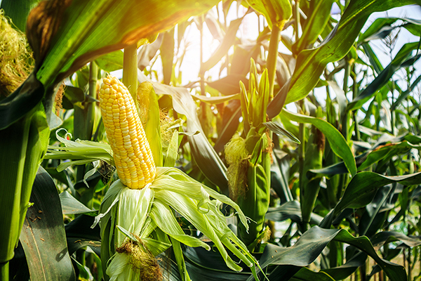 High Arachidonic Acid? Blame Corn